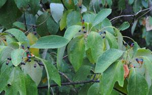 Treu Usda Und Ec Certified Organic Ligustrum Fruit Extract 10:1 Glossy Privet Fruit Extract Schönheit & Gesundheit