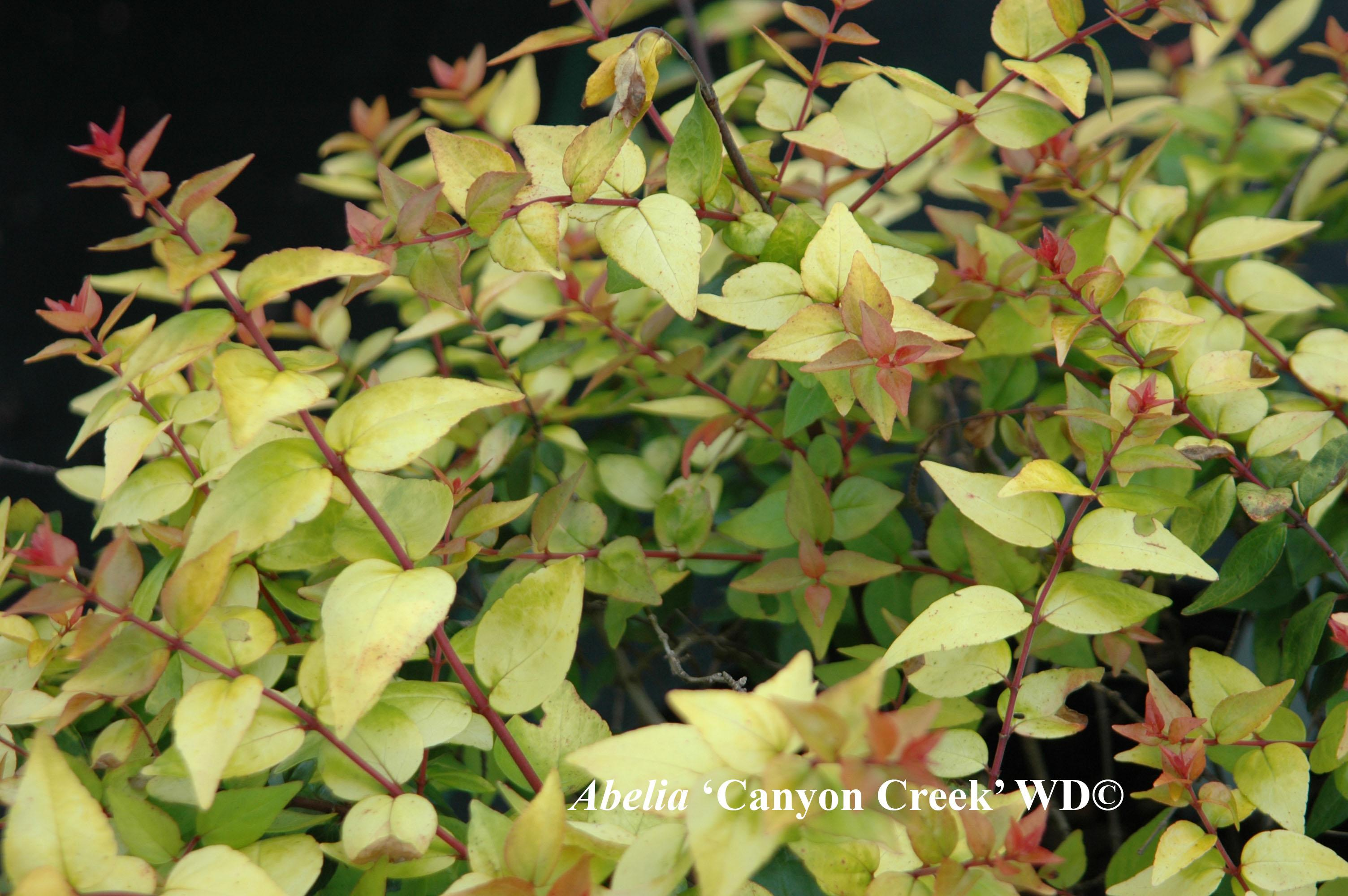 Abelia xgrandiflora Cultivars - Canyon Creek and others