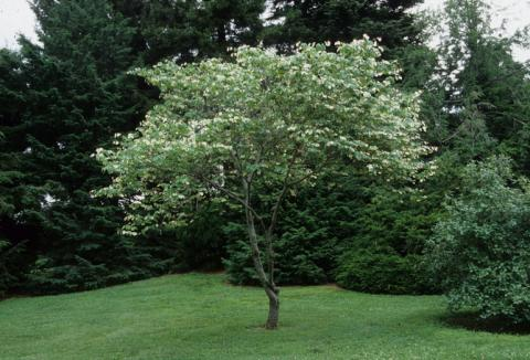 Cercis canadensis 'Silver Cloud' – Silver Cloud Red Bud