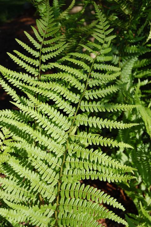 Dryopteris x australis – Dixie Wood Fern