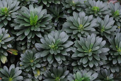 Euphorbia amygdaloides var. robbiae – Robb's Spurge (Miss Robb's bonnet)