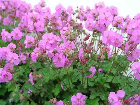 Geranium x cantabrigiense 'Karmina' – Karmina Geranium