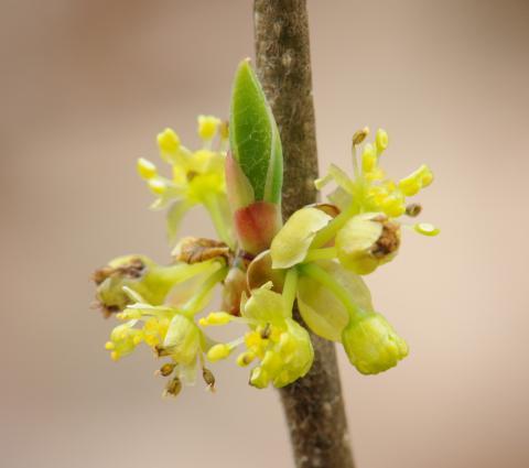 Lindera benzoin, American Spicebush