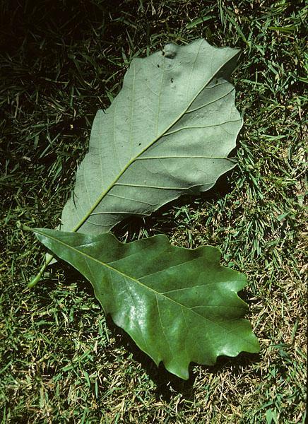 Quercus bicolor, Swamp White Oak